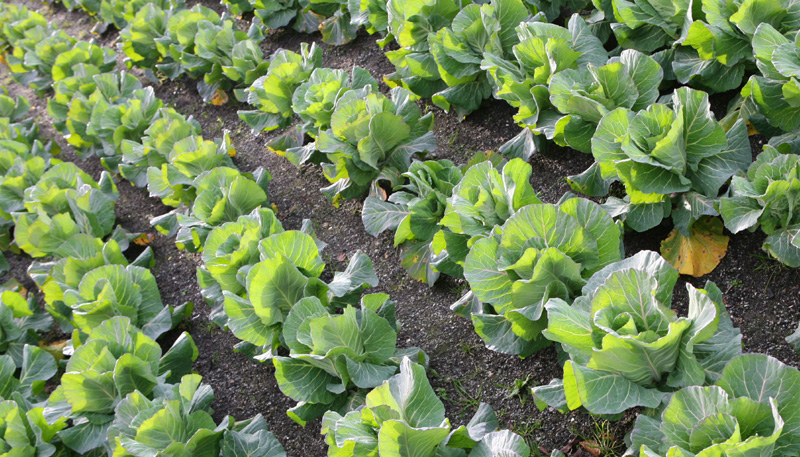 Photo: Bed of Lettuce